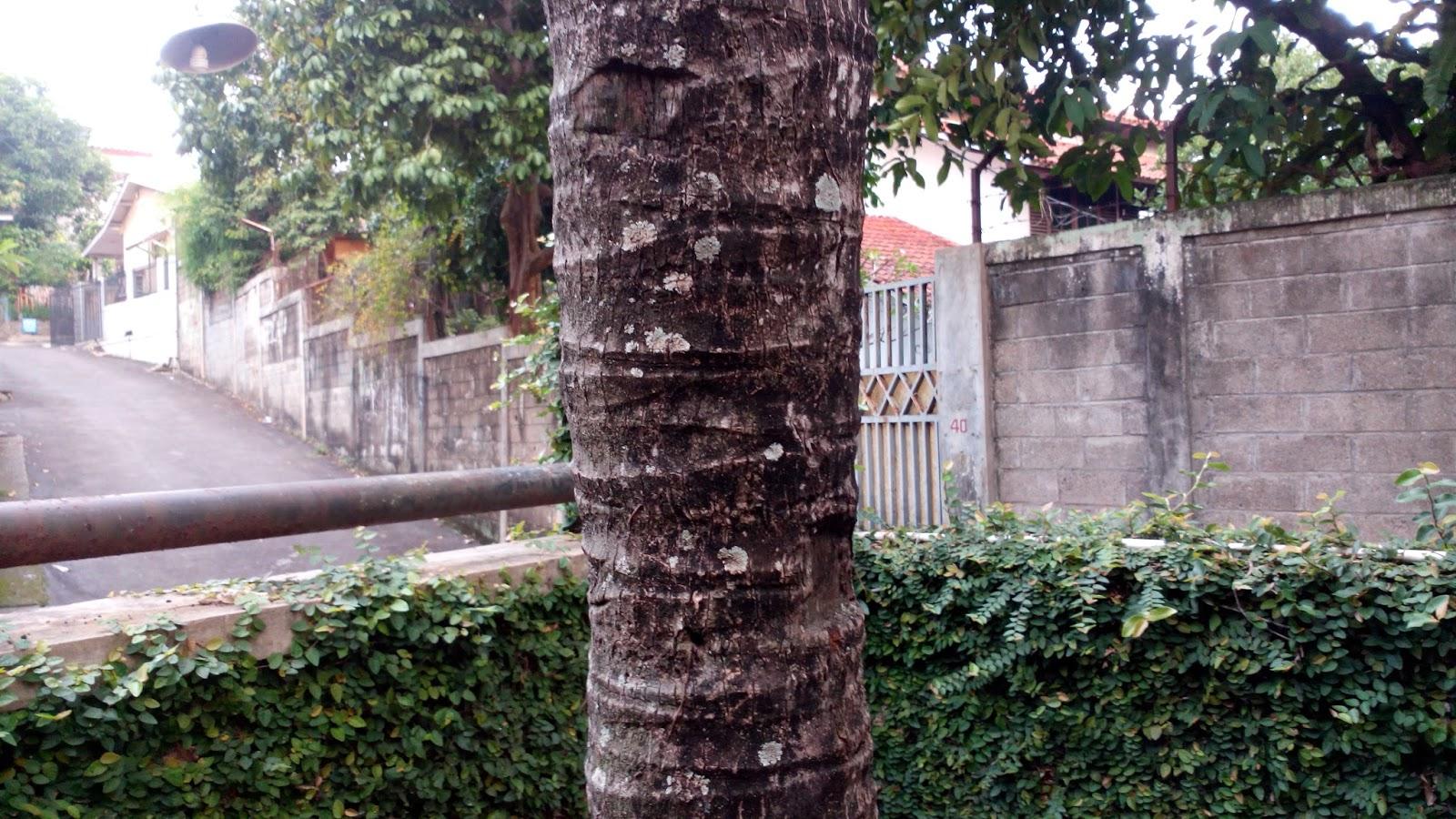 Batang Pohon Kelapa