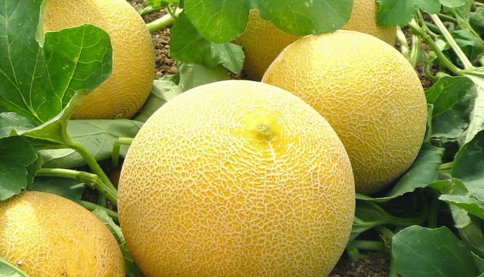 Buah Melon Yang Baik