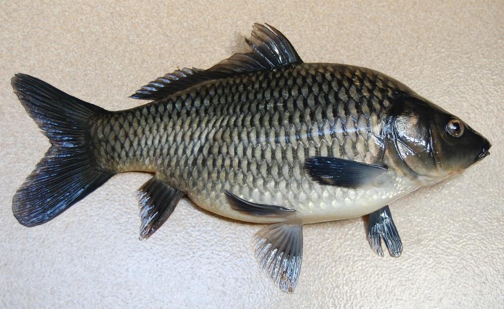 Ikan Si Tinggi Protein