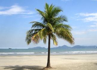 Inilah Beberapa Manfaat Pohon Kelapa