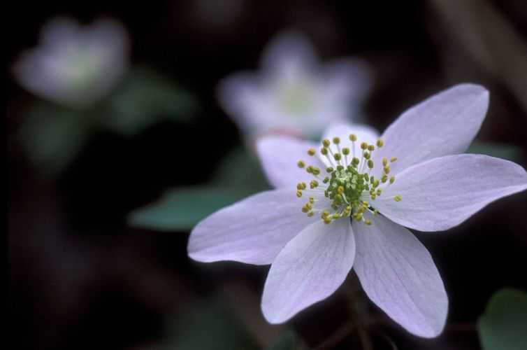Bunga Anemone (Windflower)