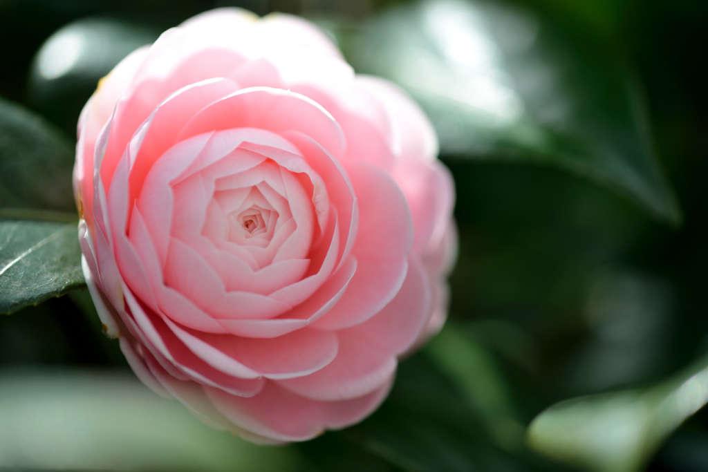 Bunga Camellia