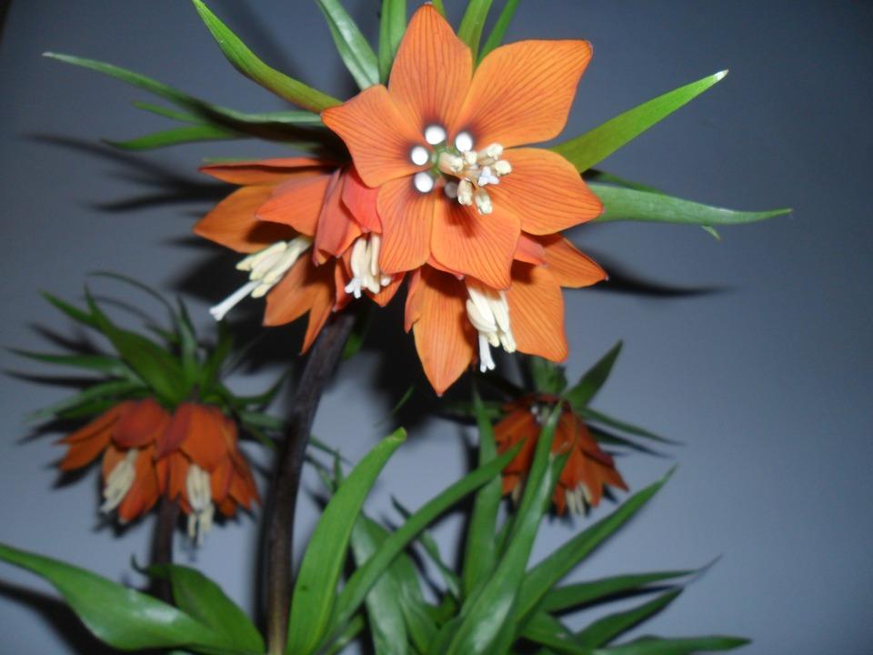 Bunga Fritillaria Imperialis