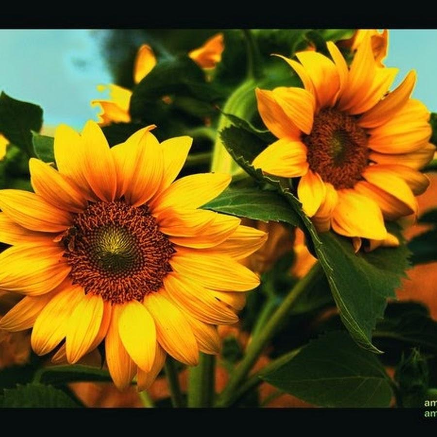 Bunga Matahari (Sun Flower)