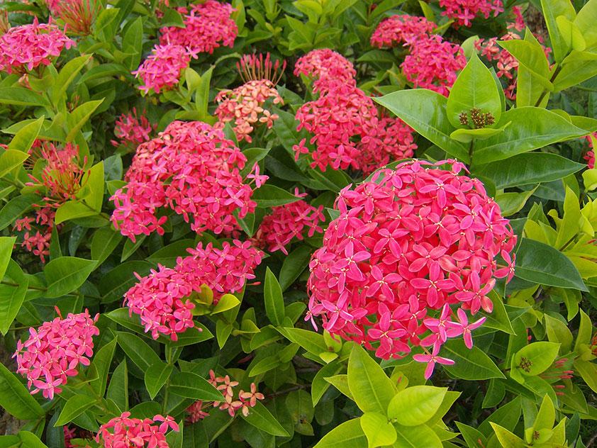 Bunga Soka (Ixora Coccinea Rubiaceae)