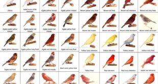 Jenis Jenis Burung Kenari
