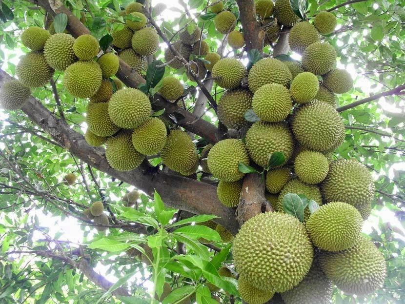 Hey Guys, Ketahui Yuk Tentang Durian Merah | Ali Mustika Sari  Hey Guys, Ketah...