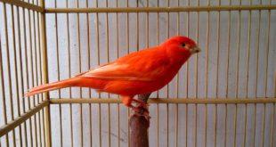 Cara Ternak Burung Kenari Bagi Pemula Yang Lengkap