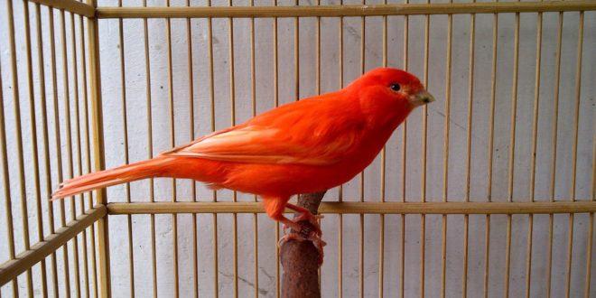 Burung Kenari Gacor