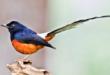 Burung Murai Batu Termahal