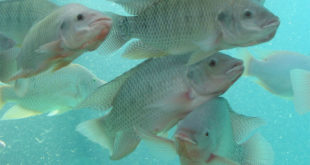 Cara Cepat Budidaya Ikan Nila Hasil Memuaskan