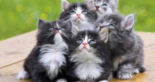 Ciri-ciri Ras Kucing Anggora yang Asli
