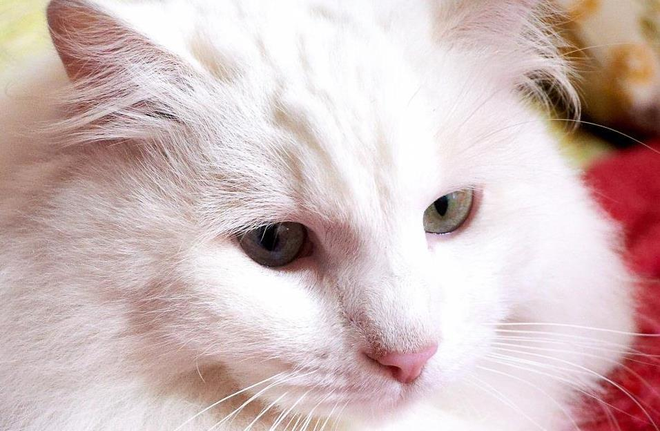 Kepala Kucing Anggora