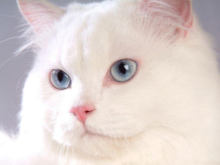 Hidung Kucing Anggora