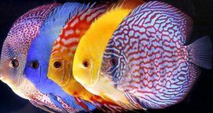 Ketahui! Inilah Beberapa Jenis Ikan Hias Air Tawar Terpopuler dan Terindah