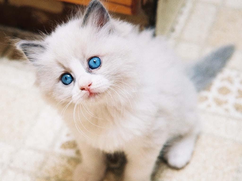 Warna Mata Kucing Anggora