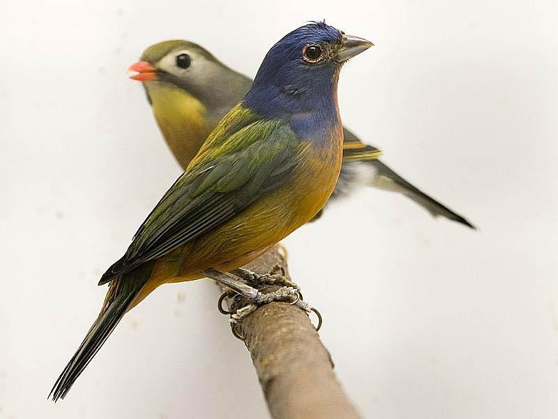 Pasangan-Burung-Kenari