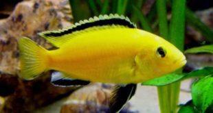 2 Ikan Hias Air tawar yang Dapat di Pelihara di Rumah