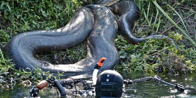 Beberapa foto ular terbesar di dunia yang pernah di tangkap oleh ular terbesar di dunia reheart Image collections