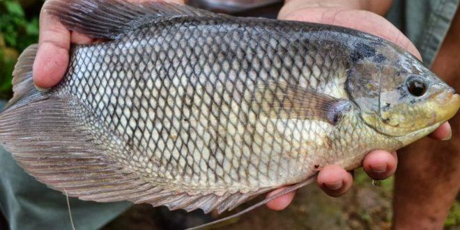 Berbudidaya Ikan Gurame