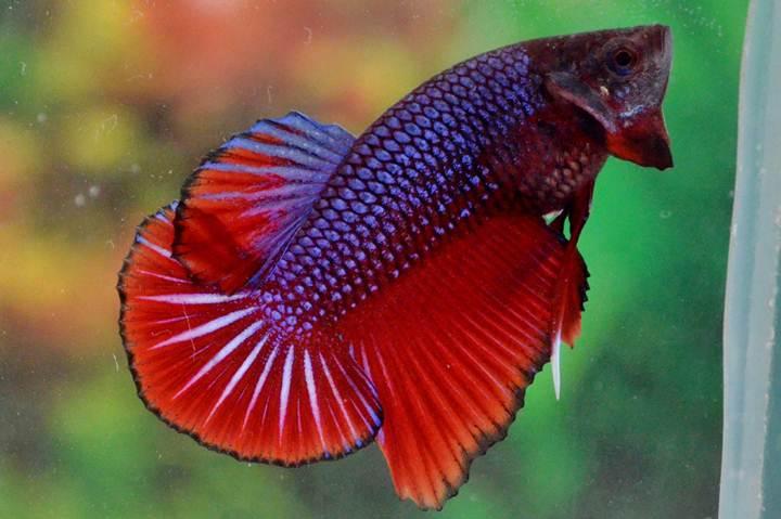 Ikan Cupang Thailand